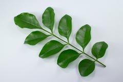 Agasta Dolichandrone rpathacea Schum drzewo odizolowywający Zdjęcia Stock