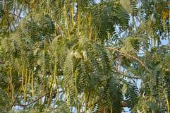 Agasta drzewo Obrazy Stock
