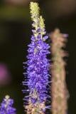 Agastache foeniculum Fotografia Royalty Free