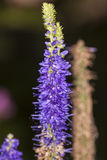 Agastache foeniculum royalty free stock photography