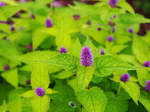 Agastache foeniculum 'Golden Jubilee'. Yellow and violet Agastache foeniculum 'Golden Jubilee' (blue giant hyssop, anise hyssop royalty free stock image