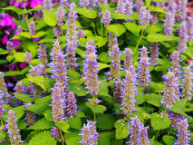Agastache foeniculum 'Golden Jubilee'. Yellow and violet Agastache foeniculum 'Golden Jubilee' (blue giant hyssop, anise hyssop stock image