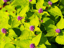 Agastache foeniculum 'Golden Jubilee' (blue giant hyssop, anise hyssop) Royalty Free Stock Photography