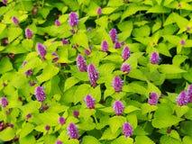 Agastache foeniculum & x27; Złoty Jubilee& x27; & x28; błękitny gigantyczny hizop, anyżowy hyssop& x29; Obraz Stock