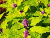 Agastache foeniculum & x27; Złoty Jubilee& x27; Zdjęcie Royalty Free
