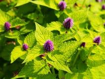 Agastache foeniculum & x27; Złoty Jubilee& x27; Fotografia Stock