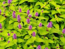 Agastache foeniculum & x27; Złoty Jubilee& x27; Zdjęcia Stock