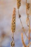 Agastache foeniculum ziarna Zdjęcia Royalty Free