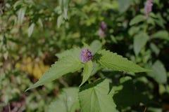 Agastache rugosa ist eine medizinische und Zierpflanze Allgemein bekannt als koreanische Minze, unscharfer Hintergrund Stockfotos
