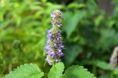 Agastache rugosa jest leczniczym i ornamentacyjnym rośliną Powszechnie znać jako koreańczyk mennica zamazujący tło Zdjęcia Stock