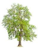 AgastaDolichandrone rpathacea Schum drzewo Dolichandrone serrulat Obrazy Stock