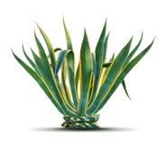 agava arkivfoton