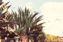 agava Zdjęcie Stock
