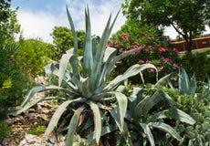 Agava przy tropikalnym ogródem Obraz Royalty Free