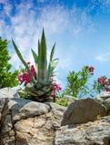 Agava przy tropikalnym ogródem Zdjęcia Royalty Free