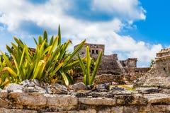 Agava roślina na starej rujnującej ścianie z antyczną Majską świątynią wewnątrz Obrazy Stock
