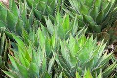Agavacae Succulent Plant in Spring Garden Stock Photography