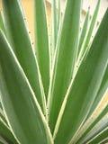 Agavaceae agawy angustifolia Geometryczny natury tło, roślina gałąź z cierniami w tropikalnym ogródzie Zdjęcia Royalty Free