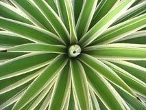 Agavaceae agawy angustifolia Geometryczny natury tło, roślina gałąź z cierniami w tropikalnym ogródzie Obrazy Royalty Free