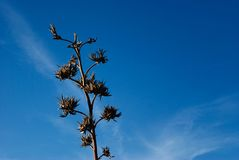agaveökensolsken Royaltyfri Bild