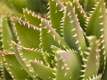 Agave. Close-up of an agave species found on the island of Fuerteventura, Canary Islands, Spain Royalty Free Stock Image