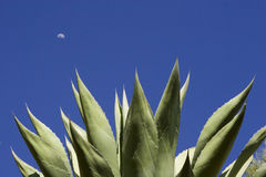 Agave Stockfotos