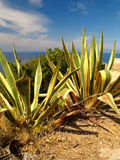 Agave. A wonderful agave on the sea royalty free stock photo