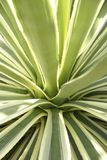 Agave. Background from dispersing leaves of an agave Royalty Free Stock Photography