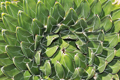 Agave Stock Photography