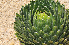 Agave Stock Photos