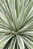 Agave Royalty-vrije Stock Afbeelding