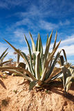 Agave Image stock