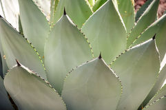 Agave Foto de Stock Royalty Free