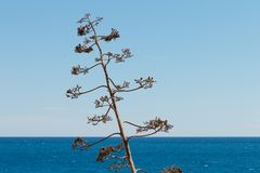 Agave against the sea. Landscape with a flower of agave and sea Royalty Free Stock Photography