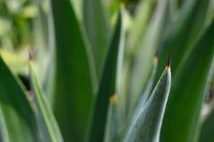 Agave, Aloe, Close-up Royalty Free Stock Photos