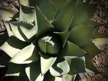 Finding shade. Agave/aloe plant getting shade royalty free stock photo