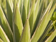 Agave americana Stock Photography