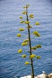 Agave (americana Agave) bloemen die beginnen te bloeien royalty-vrije stock afbeelding