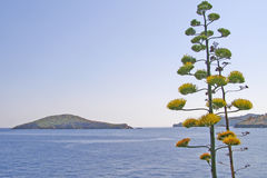 Agave americana in bloom on the Skiathos Island Stock Images