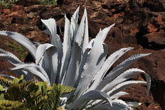 Agave Americana Cactus. In desert Royalty Free Stock Photos