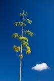 Agave americana, century plant Royalty Free Stock Image