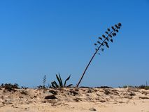 Agave Americana Or Century Plant In Bloom Ilha Barreta Poirtugal. Agave americana, century plant, sentry plant, maguey or American aloe in flower on Ilha Barreta Royalty Free Stock Images