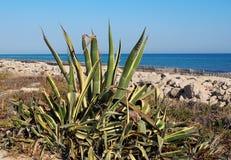 Agave Americana Or Century Plant Ilha Barreta Portugal. Agave americana, century plant, sentry plant, maguey or American aloe on Ilha Barreta, Portugal stock images
