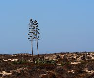 Agave Americana Or Century Plant In Bloom Ilha Barreta Poirtugal. Agave americana, century plant, sentry plant, maguey or American aloe in flower on Ilha Barreta Stock Images