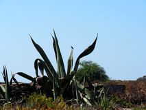 Agave Americana Or Century Plant Ilha Barreta Portugal. Agave americana, century plant, sentry plant, maguey or American aloe  on Ilha Barreta, Portugal Stock Photo