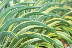 Agave americana Royalty Free Stock Images