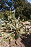 Agave americana. Common names centuryplant, maguey, or American aloe, is a species of flowering plant in the family Agavaceae, originally native to Mexico, and Stock Photos