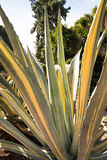 Agave americana. Common names centuryplant, maguey, or American aloe, is a species of flowering plant in the family Agavaceae, originally native to Mexico, and Stock Photo