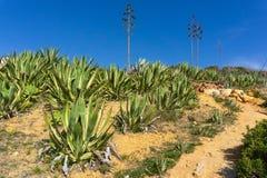 Agave americana längs att fotvandra banan i sydliga Portugal arkivbilder