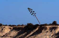 Agave americana o pianta di secolo in fioritura Ilha Barreta Poirtugal Immagini Stock Libere da Diritti